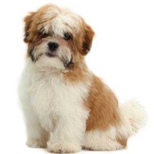 best-shih-tzu-dog-names