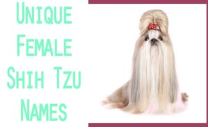 cute shih tzu female-names-and-meanings