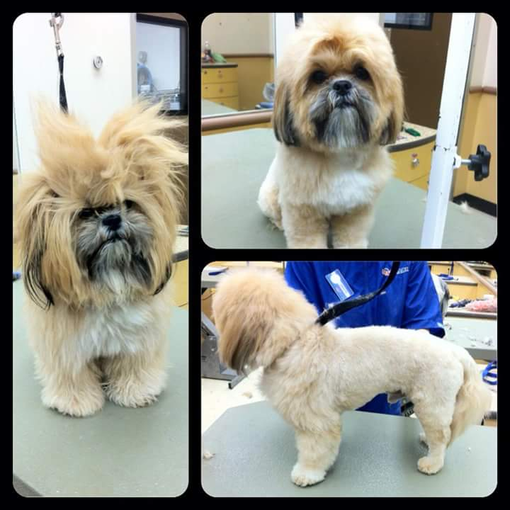 shih-tzu-lion-cut-before-after-pictures