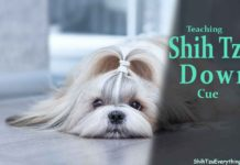 how-to-teach-shih-tzu-down-cue