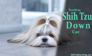 how-to-teach-shih-tzu-down-cue