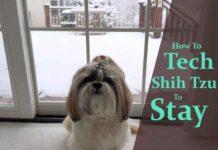 train-a-shih-tzu-to-stay