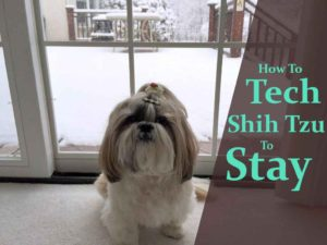 train-a-shih-tzu-to-stay