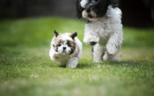 cool-boy-names-for-shih-tzu