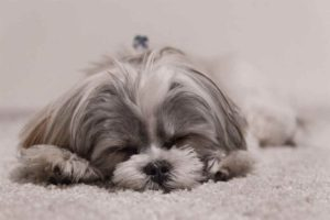 separation-anxiety-issues-in-shih-tzu