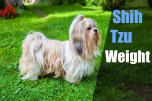 average-shih-tzu-weight