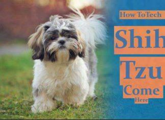 training-shih-tzu-to-come-here