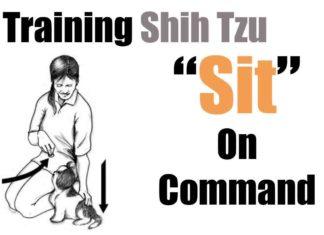teaching-shih-tzu-sit-command