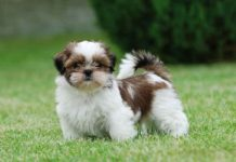 shih-tzu-parasites-prevention-and-treatment