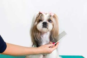 how-to-brush-shih-tzu-coat