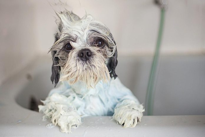 how-often-to-bathe a-shih-tzu