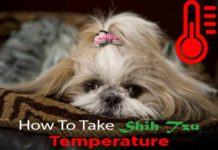 taking-shih-tzu-temperature