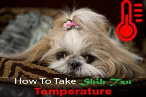 taking-shih-tzu-temperature