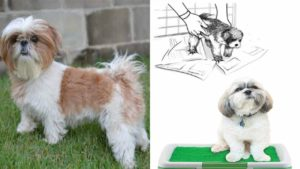 how-to-potty-train-shih-tzu