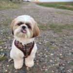 potty-warning-signs-shih-tzu