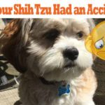 shih-tzu-accidents
