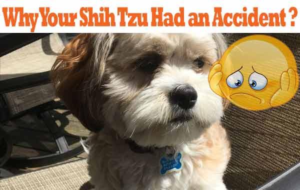 shih-tzu-accidents
